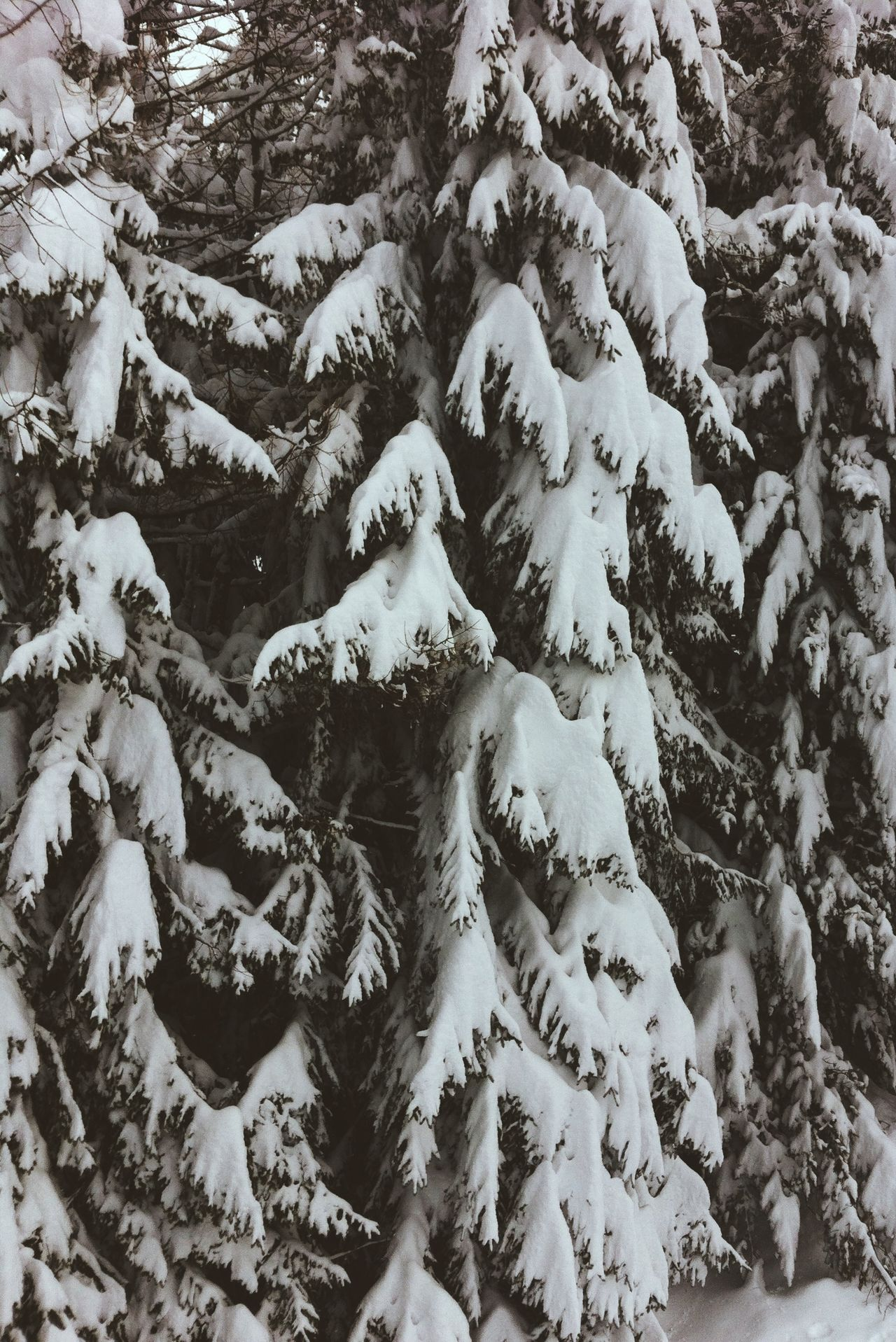 Beautiful stock photos of snow, Cold Temperature, Coniferous Tree, Day, Full Frame