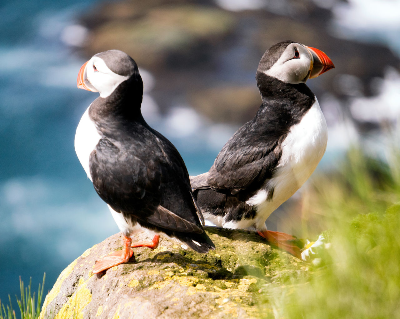 Puffins on the cliffs at Latrabjarg, Iceland Animal Themes Animal Wildlife Animals In The Wild Beak Bird Black Color Cliff Close-up Day Ice Latrabjarg Nature No People Ocean Outdoors Perching Puffins Westfjords