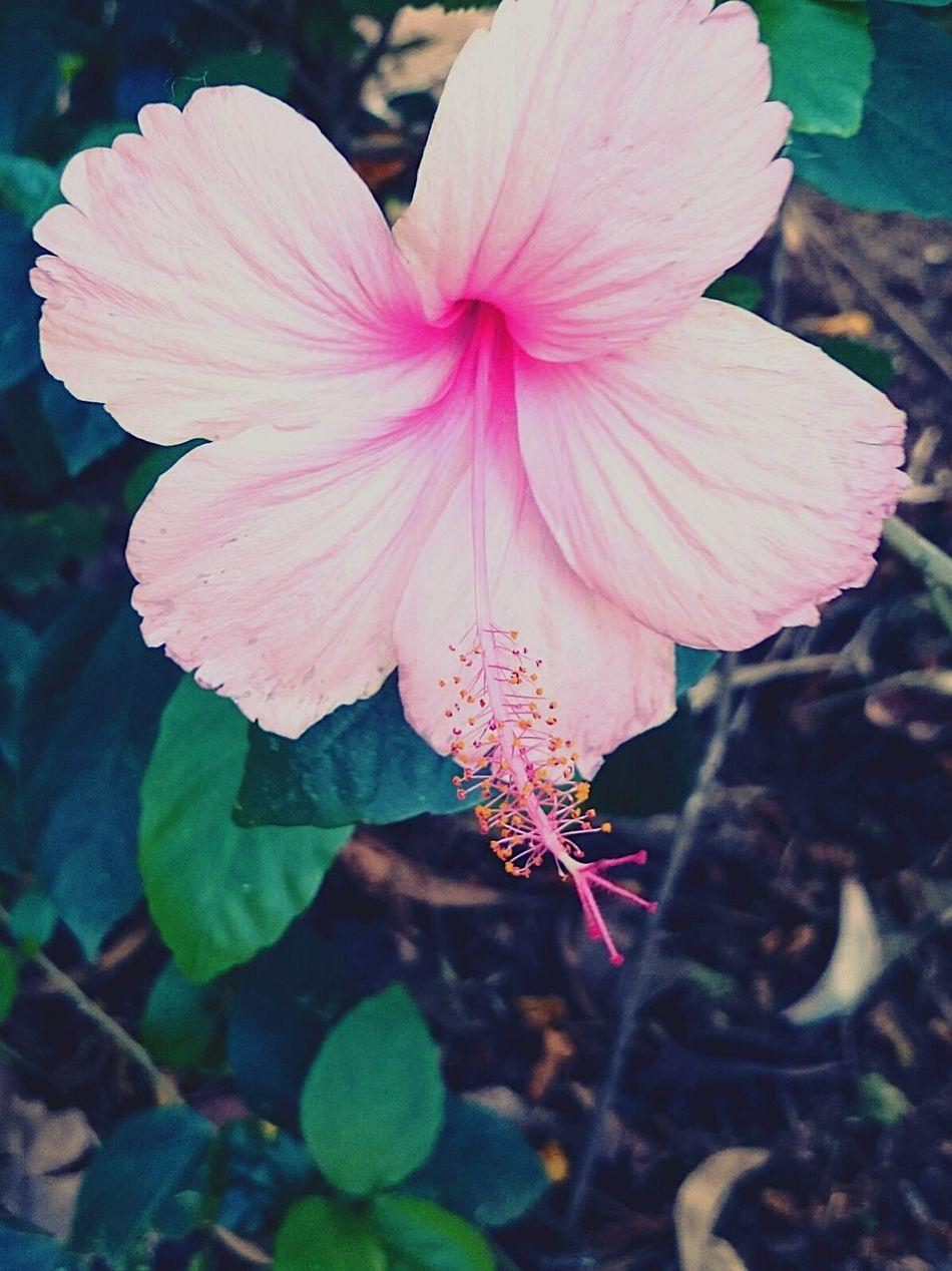Hibiscus 🌺 Pink Hue