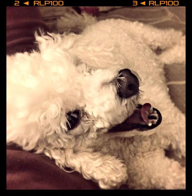 Pets Domestic Animals Dog One Animal Relaxation Close-up Looking Away Zoology Alertness Animal Head  Animal Loyalty Unconditional Love Fur Poodletoy Poodle