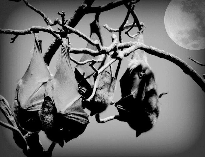 Hanging Out Nature Blackandwhite Animals Bats Blackandwhite Photography Nature_collection