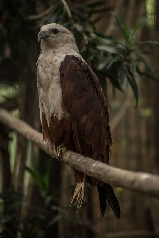 Animal Themes Animal Wildlife Animals In The Wild Bird Bird Of Prey Close-up Day Eagle Eagles Eyeem Philippines Nature No People One Animal Outdoors Perching Philippine Eagle Serpent Eagle Tree White Bellied Eagle
