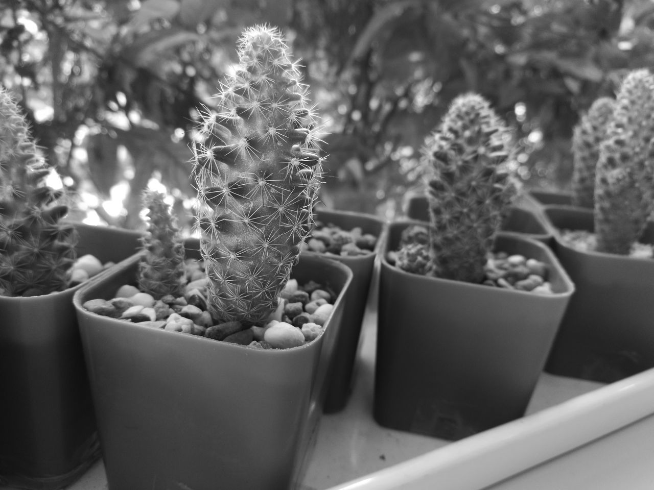 cactus, growth, plant, thorn, potted plant, no people, nature, spiked, day, close-up, outdoors, beauty in nature, freshness