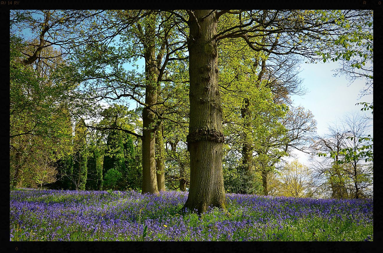 Beauty In Nature Bluebell Bluebell Wood Bluebells Bluebells, Spring, Springtim Flower Flowers Flowers, Nature And Beauty Flowers,Plants & Garden Nature No People Plant Tree Tree Tree Trunk
