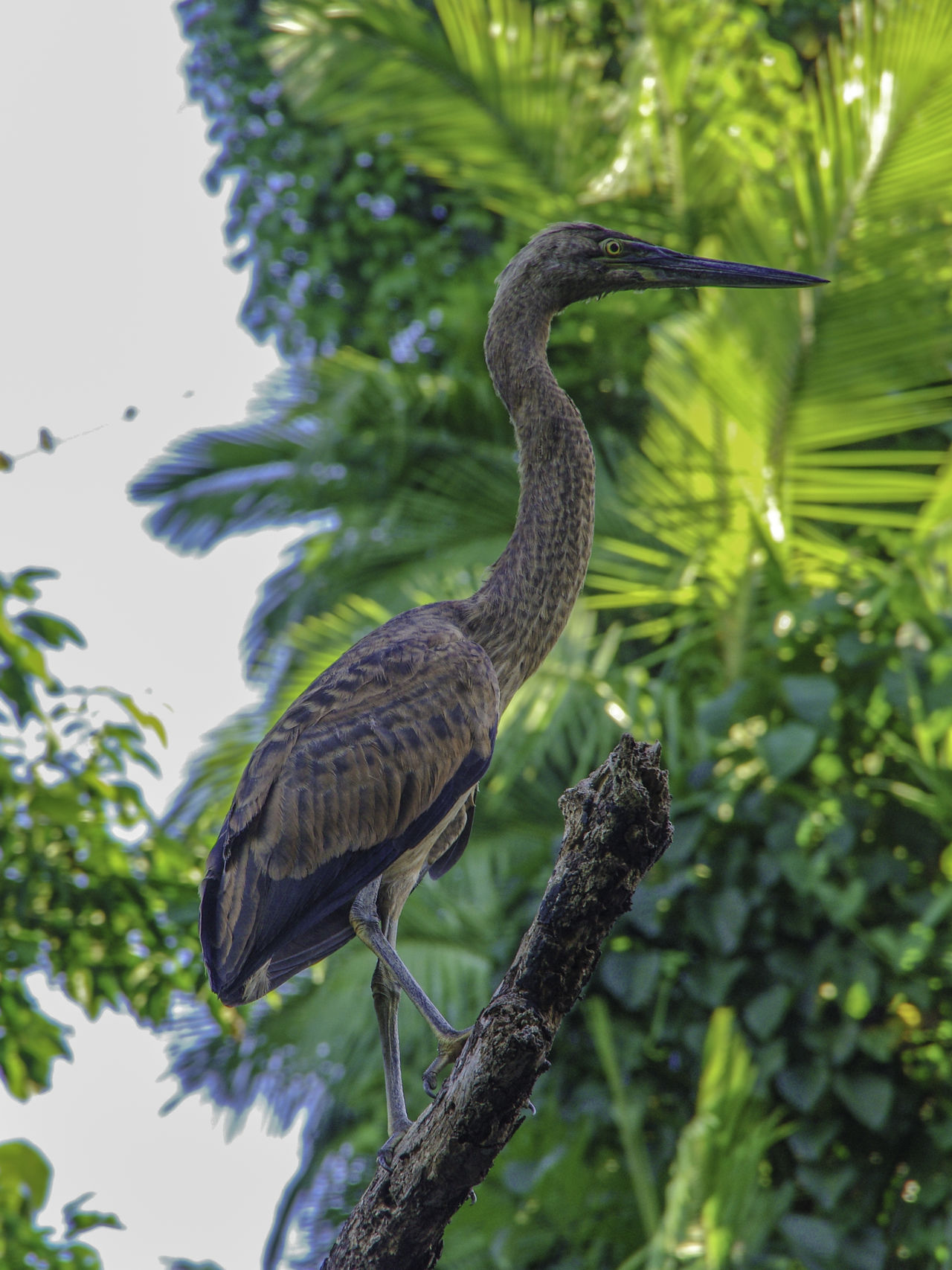 Animal Themes Animal Wildlife Animals In The Wild Australia Beauty In Nature Bird Branch Close-up Day Focus On Foreground Green Color Growth Heron Juvenile Birds Leaf Nature No People One Animal Outdoors Perching Plant Purpleheron Tree