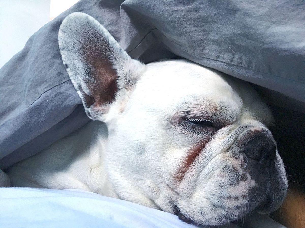 Pets Dog Animal Themes Close-up Relaxation Indoors  No People Frenchbulldog Frenchie Albino White White Frenchie