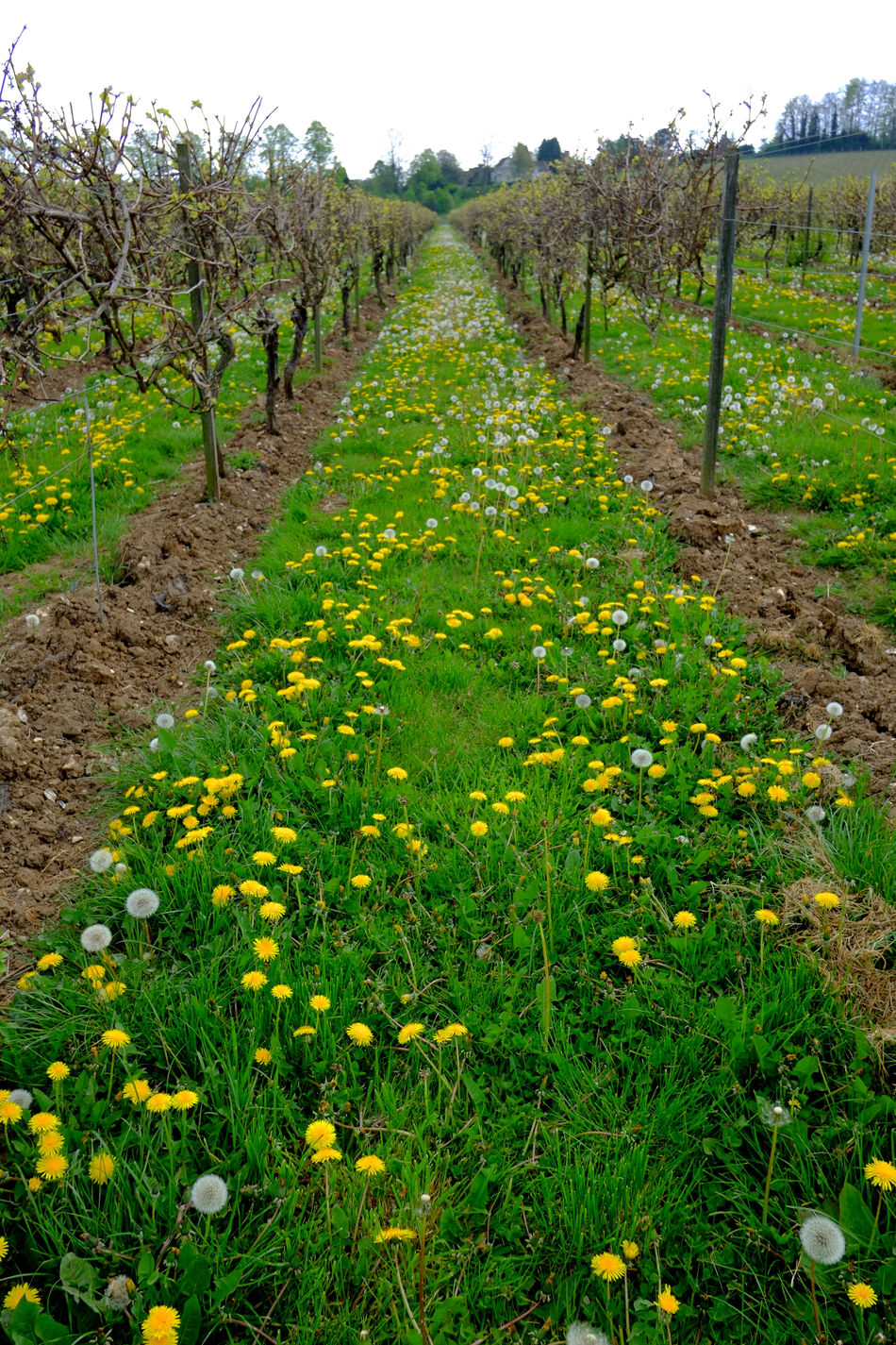 Vineyard in the spring Agriculture Agriculture Countryside Crop  Cultivated Farm Farm Field Fresh Grapes Growth Growth Landscape Nature Nature No People Organic Plants Rural Scene Scenics Spring Tranquil Scene Tranquility Vineyard Wine Break The Mold