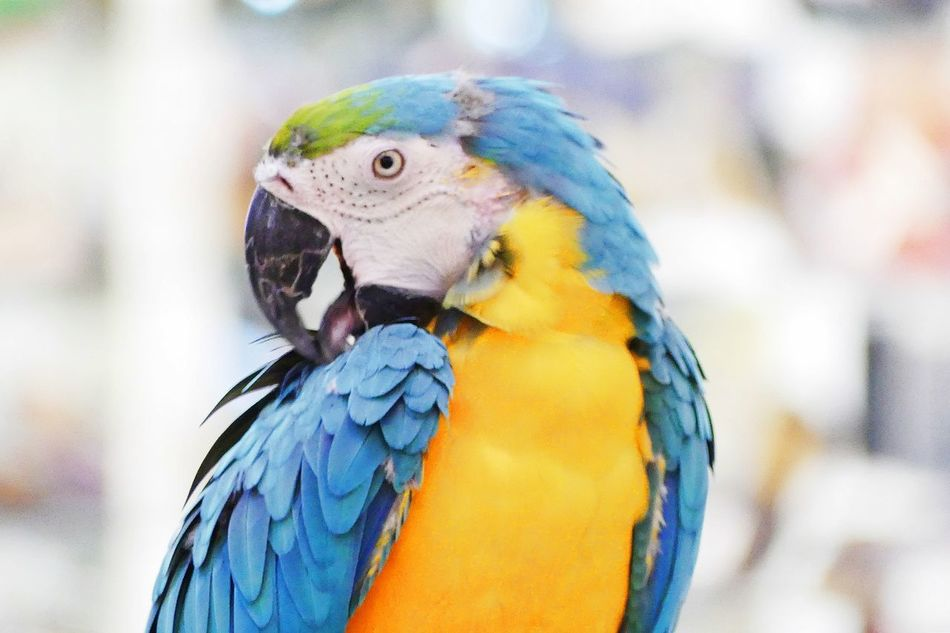 A Parrot is Looking at Me A Parrot Animal Themes Animal Wildlife Animals In The Wild Beak Beauty In Nature Bird Blue Close-up Day Focus On Foreground Gold And Blue Macaw Macaw Nature No People One Animal Outdoors Parrot Parrot Bird Parrot Lover Parrots Of Eyeem Perching นก นกสวยงาม นกแก้ว