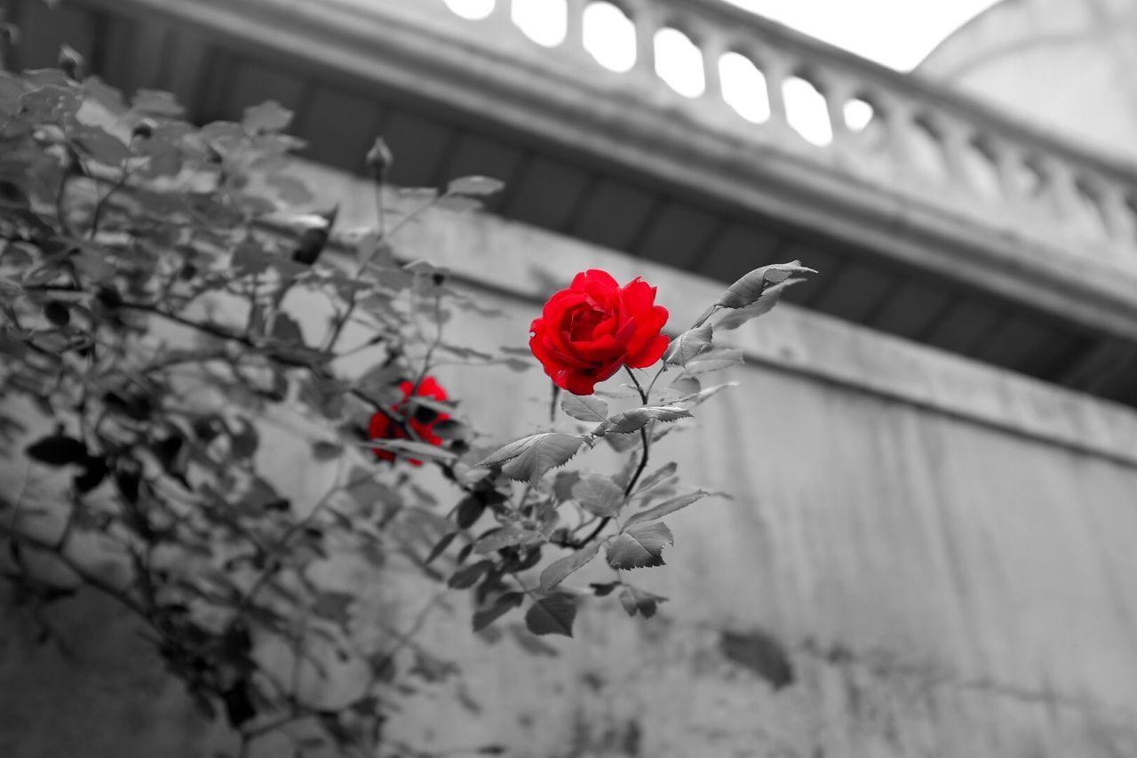 Fujifilm FujiX100T X100t B&W Portrait Flowers Blossom Monored Rosé Roses Streetphoto_bw