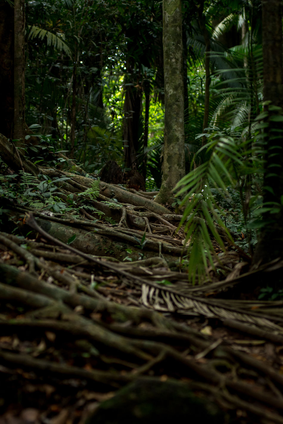 A path heavily covered in tree roots leads through a dense tropical jungle. Adventure Beauty In Nature Dense Direction Exploring Forest Green Growth Jungle Leaves Lost Nature No People Outdoors Path Rain Forest Roots Route Tioman Tranquility Tree Tree Trunk Vegitation Way Forward
