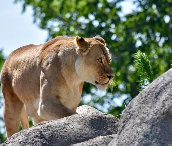 Animal Wildlife Animal Themes Day Low Angle View Lion - Feline Outdoors Tree No People Mammal Lioness Nature