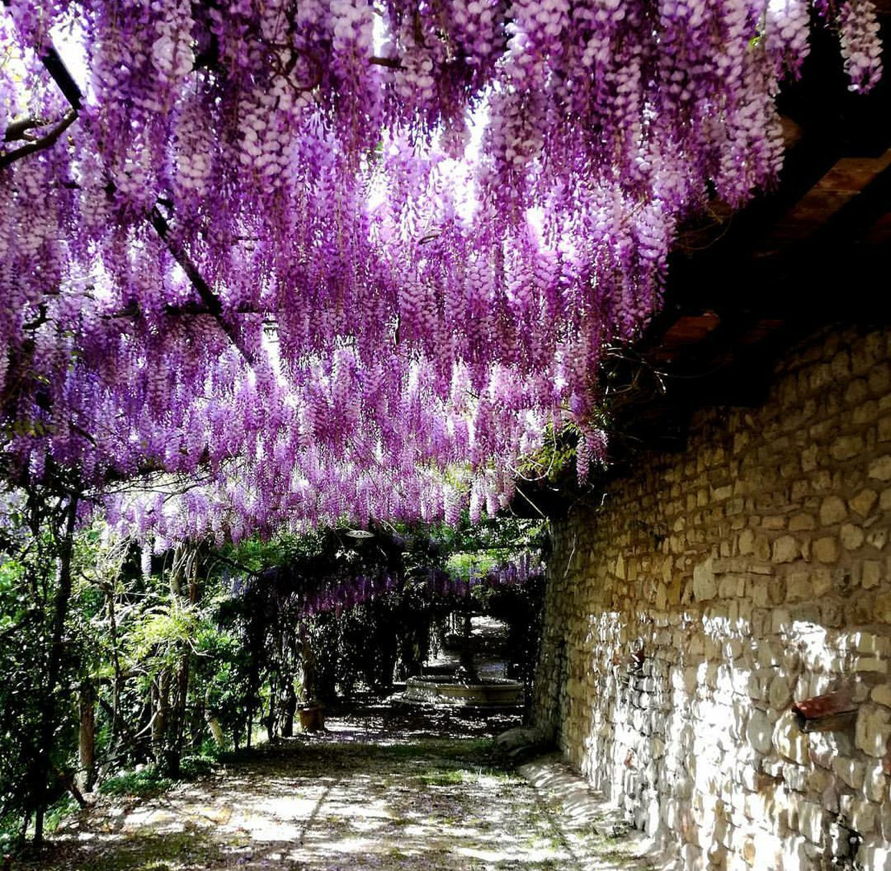 Nature Beauty In Nature Flower Day Outdoors Italy Fiori Glicineinfiore Glicine Growth