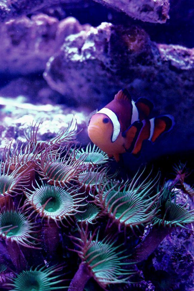 Clownfish Findingnemo Aquarium Aquarium Life TropicalFish Coral Underthesea Fishtank Leica Leicacamera Leicavluxtyp114 Kojikam Animal