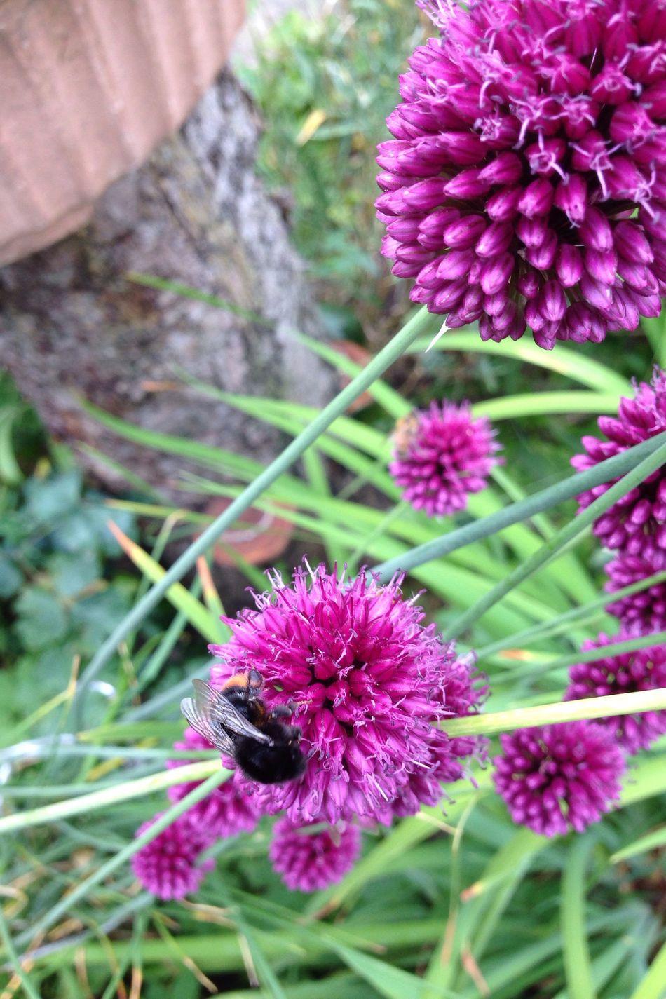 Bumblebee Bumble Bee Wildbee Wildbiene Wildbienen Garten Pflanze Natur Allium Sphaerocephalon Allium Flower Garden Garden Photography Zierlauch Kugellauch Lauch