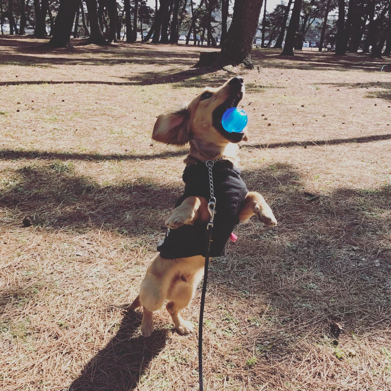 Minituredachshund Dog Outdoors Playing