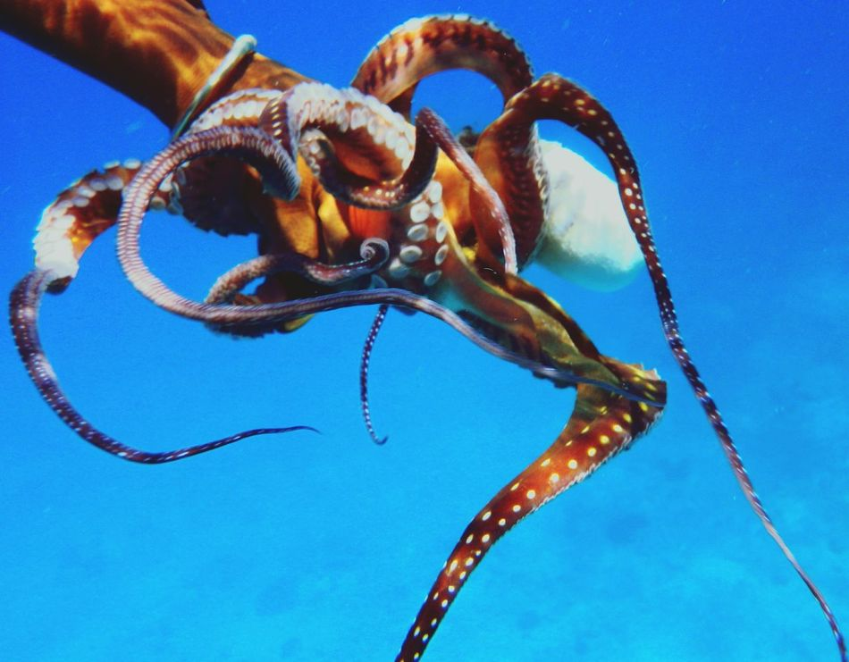 Beautiful stock photos of octopus, Animal Themes, Animals In The Wild, Blue, Cropped