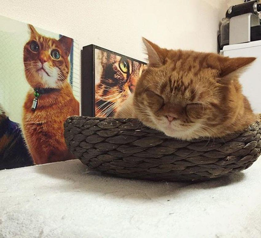 Cat Neko ねこ 猫 ねこ Cats スコティッシュフォールド Scottishfold 茶トラ ロロ Lolo コケティッシュフォールド コケティッシュホールド かご猫 カゴのロロでおはようございます…😆😸👍