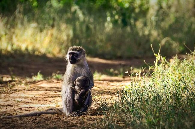 Kenya Africa Monkey Mother Baby Wildlife Happiness