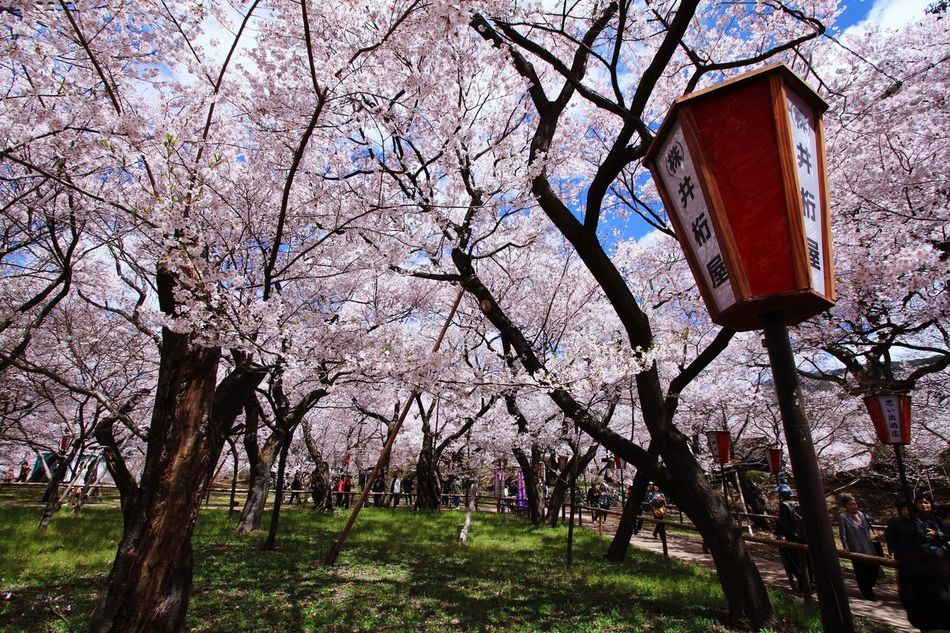 Japan Nagano Ina Takato Park Photography Spring Flowers Cherry Blossoms