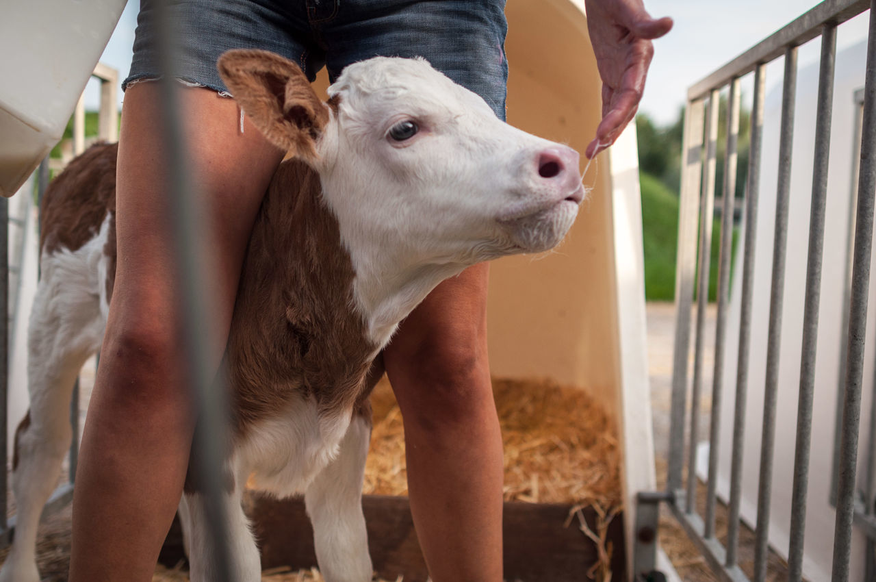 Beautiful stock photos of cow, Animal Head, Calf, Cattle, Close-Up