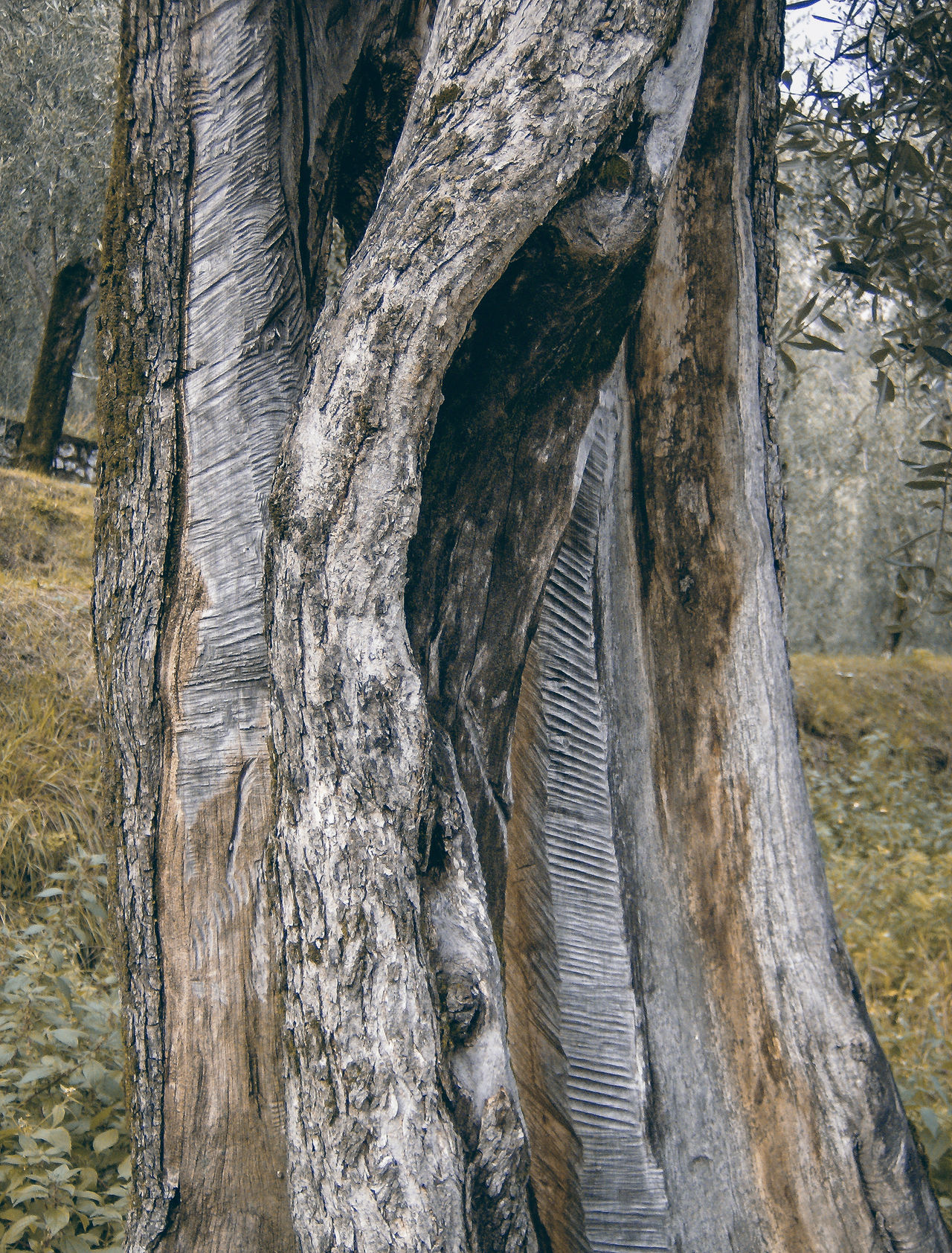 italia Baumstamm Beauty In Nature Close-up Day Italia Italie Italien Italy Italy❤️ Italy🇮🇹 Landscape Nature Nature No People Oil Tree Olivenbaum Outdoors Sky Tranquility Tree Tree Tree Trunk Tronco Trunk Ulivo