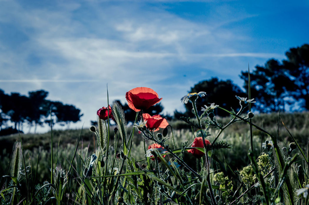The beauty of nature Amapolas Amapolas Rojas Beauty In Nature Blooming Clouds Field Flora Flower Flower Head Grass Nature Nature Photography Naturelovers Outdoors Petal Plant Poppy Red Sky Spring Sun