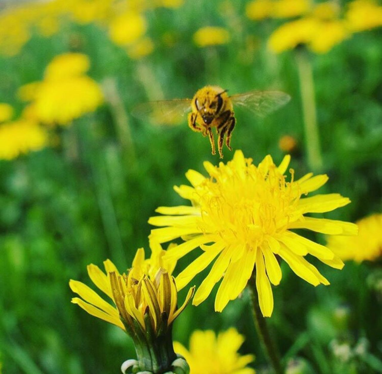 flower, insect, yellow, nature, petal, one animal, animals in the wild, animal themes, fragility, plant, beauty in nature, growth, freshness, flower head, bee, focus on foreground, outdoors, no people, pollination, day, close-up, blooming, animal wildlife, buzzing