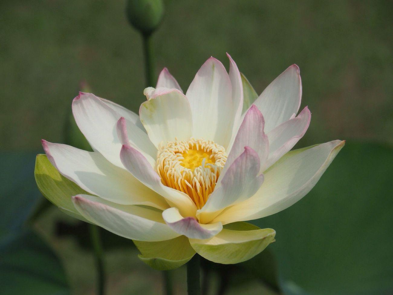 Kyoto Japan Uji Mimurotoji Temple Shrine Lotus Flower Petal Beauty In Nature Nature Growth Close-up Plant Outdoors Day No People Olympus PEN-F 京都 日本 宇治 三室戸寺 蓮 咲き始め
