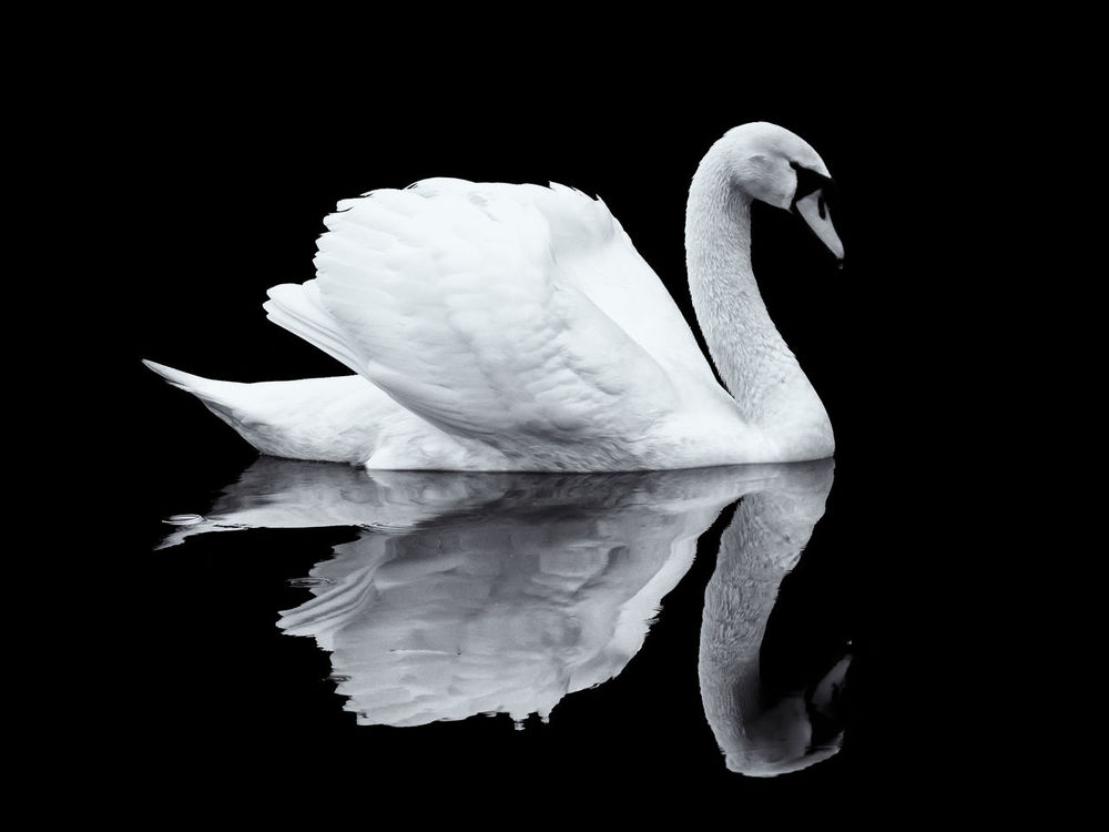 On Black Series - 1 Black Background No People Close-up Outdoors Swan Mirror Reflection Water Swimming Lake Nature Black And White Isolated On Black Mirrored Image Mirrored Reflection Mirrored Bird White Swan London England Regents Canal Animal Themes Black Series On Black Series Animal Portrait Black And White Friday