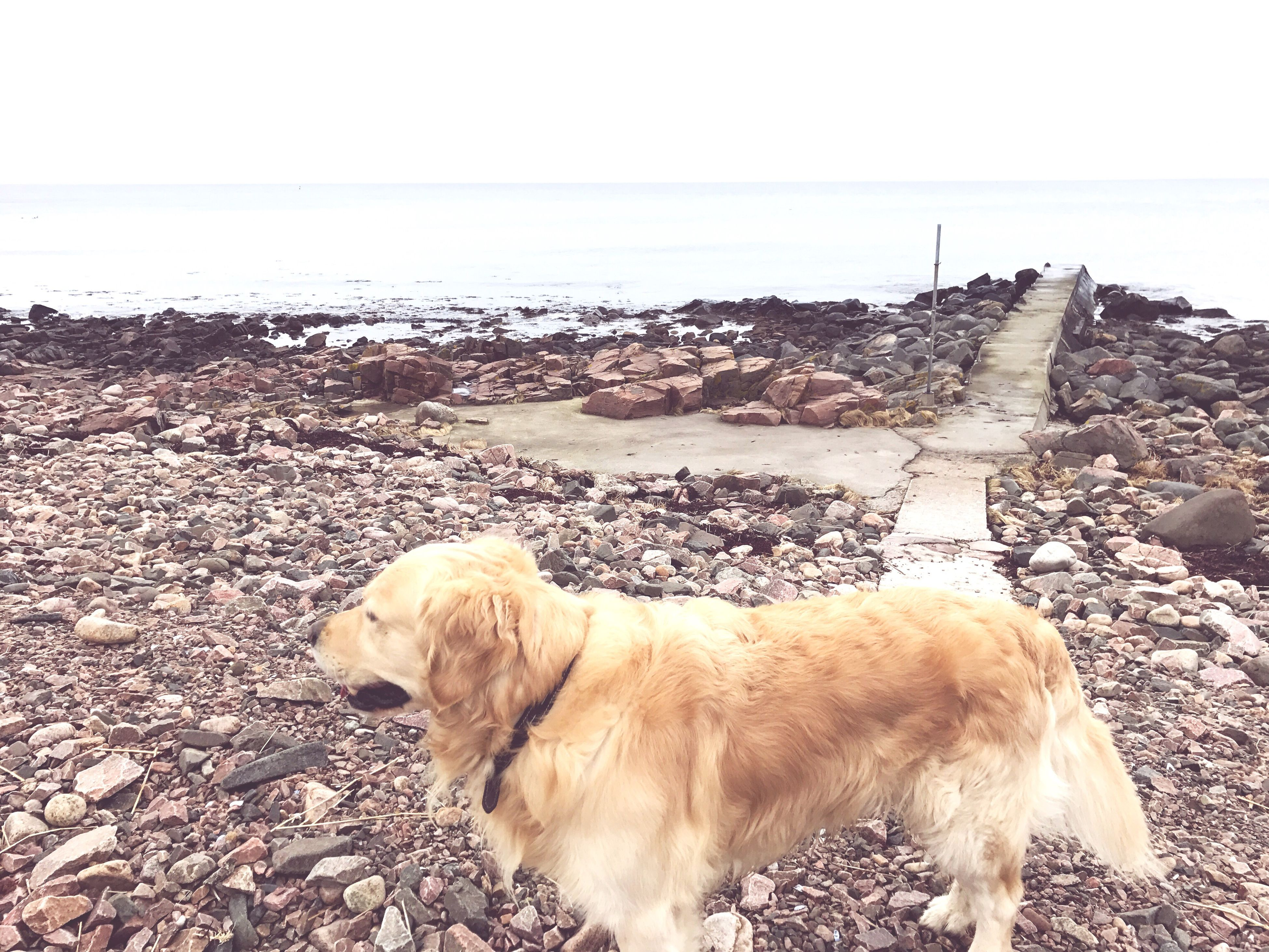 dog, pets, domestic animals, mammal, animal themes, sea, beach, nature, water, horizon over water, outdoors, no people, one animal, golden retriever, sand, day, sky, beauty in nature