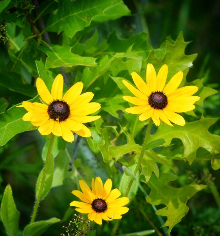 Blackeyedsusans Naturelovers Flowers, Nature And Beauty
