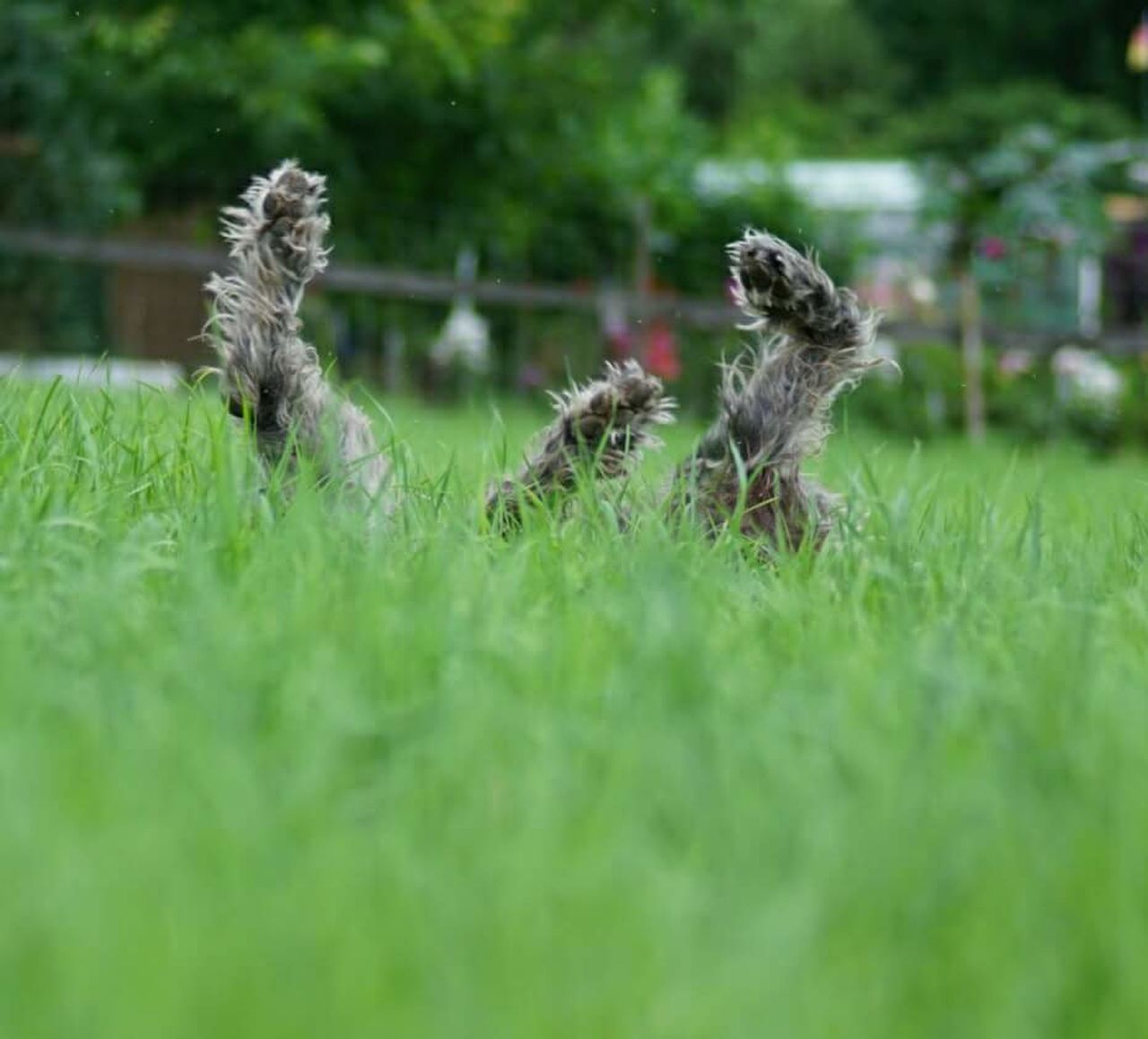 grass, no people, animal themes, outdoors, dog, day, competition, mammal, pets, nature, domestic animals