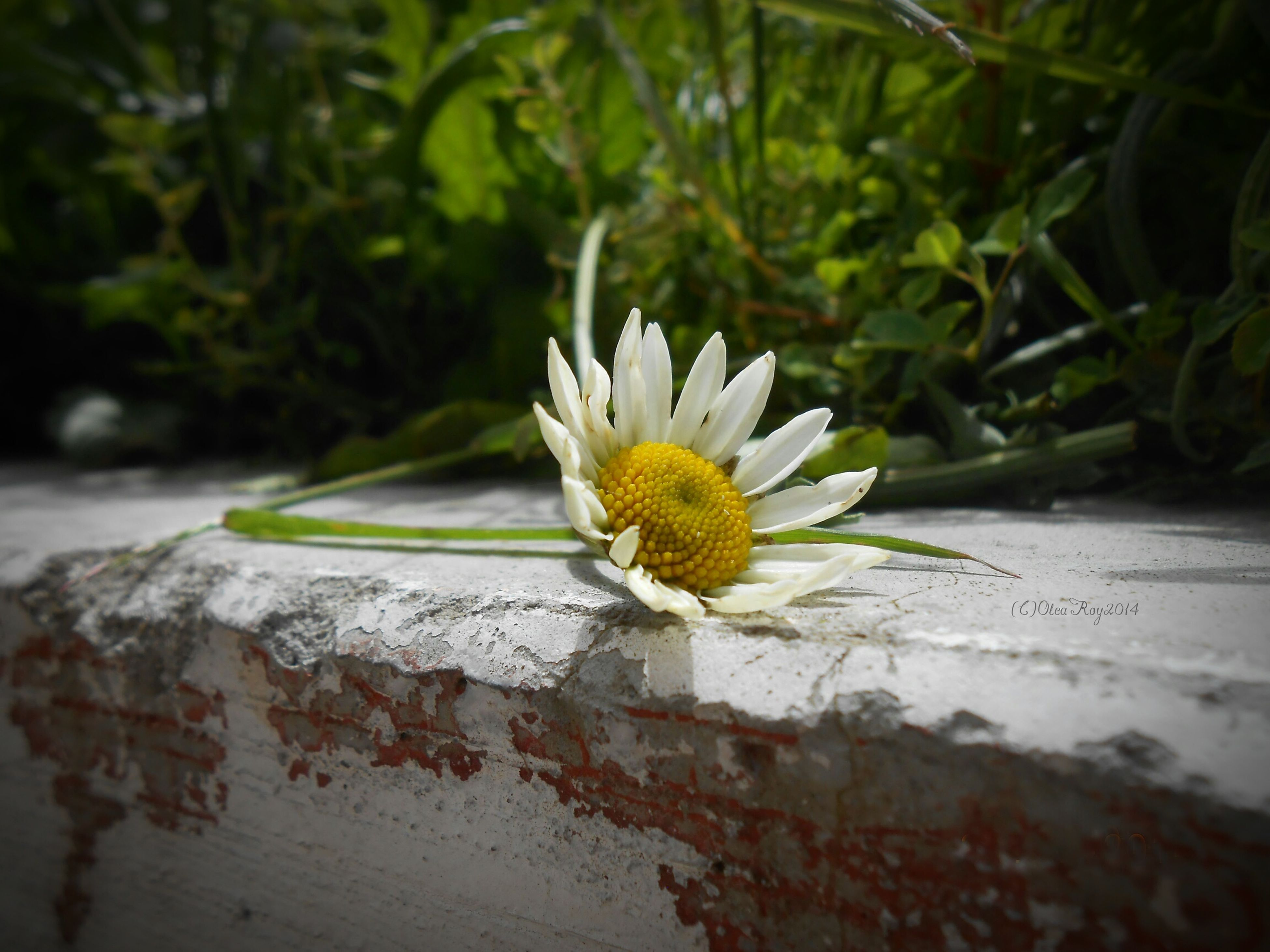 flower, petal, flower head, fragility, freshness, white color, close-up, single flower, pollen, growth, focus on foreground, plant, blooming, beauty in nature, nature, daisy, white, day, outdoors, no people