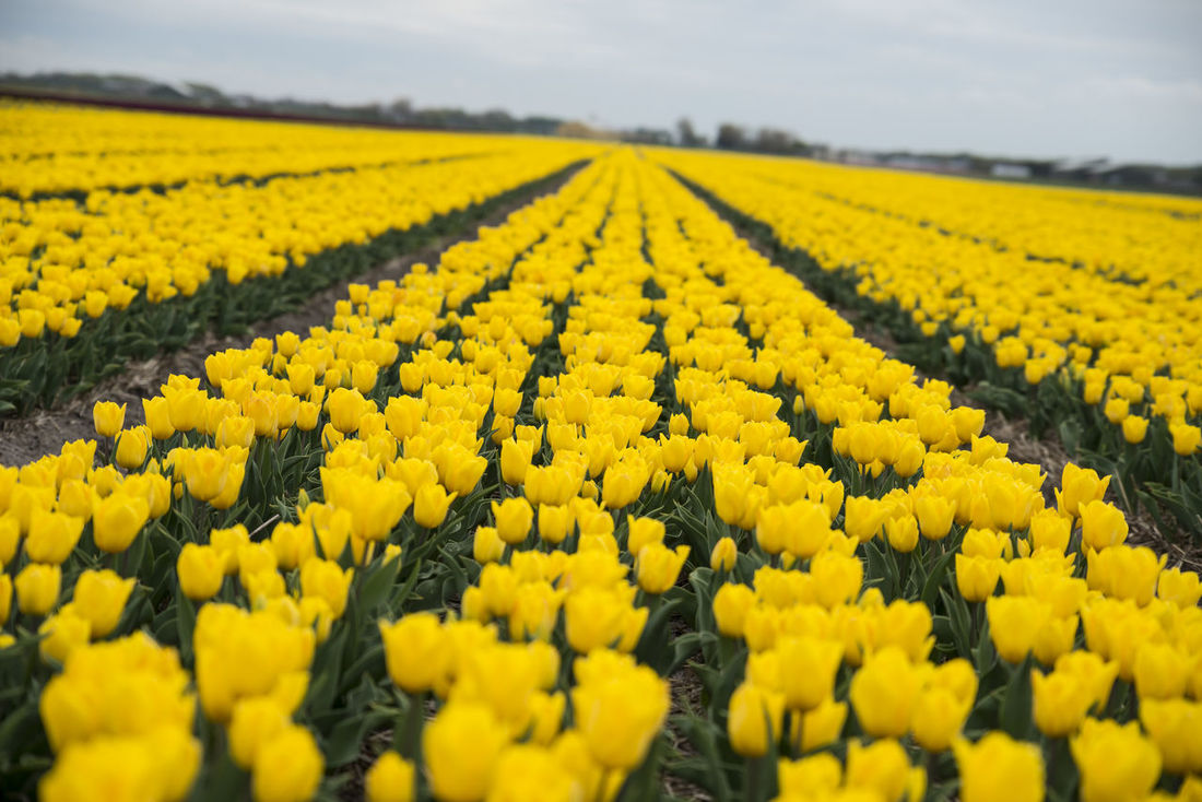 Horizontal tulip fields are boring Farmland Field Netherlands Noord Holland Paint The Town Yellow Yellow Flower Bert Driebe Holland Row Tulip Tulips🌷 Yellow Yellow Color
