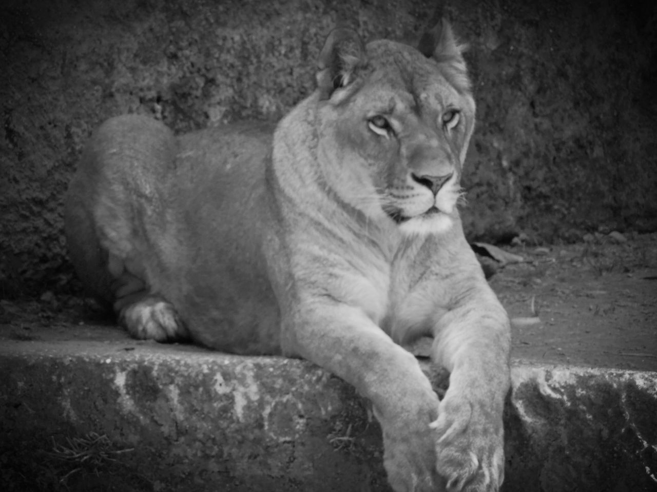 Vintage effect Lioness Outdoors No People Lion - Feline Zoo Zoo Animals  Zoo Black And White Collection  Black And White Collection  LiveIsBetter NoHunting
