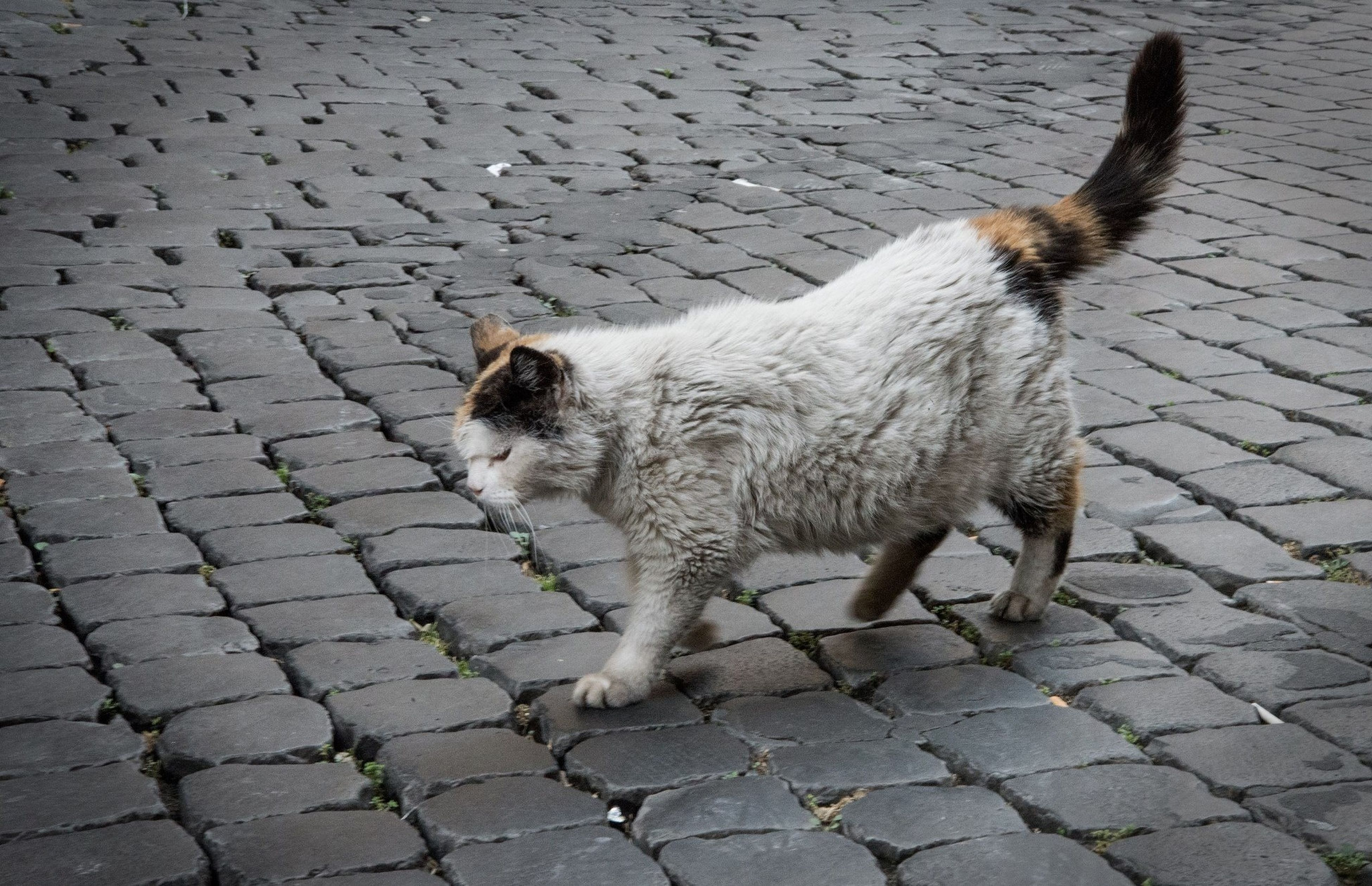 animal themes, one animal, cobblestone, domestic cat, street, cat, pets, domestic animals, paving stone, mammal, high angle view, sidewalk, footpath, outdoors, feline, day, relaxation, no people, pavement, full length