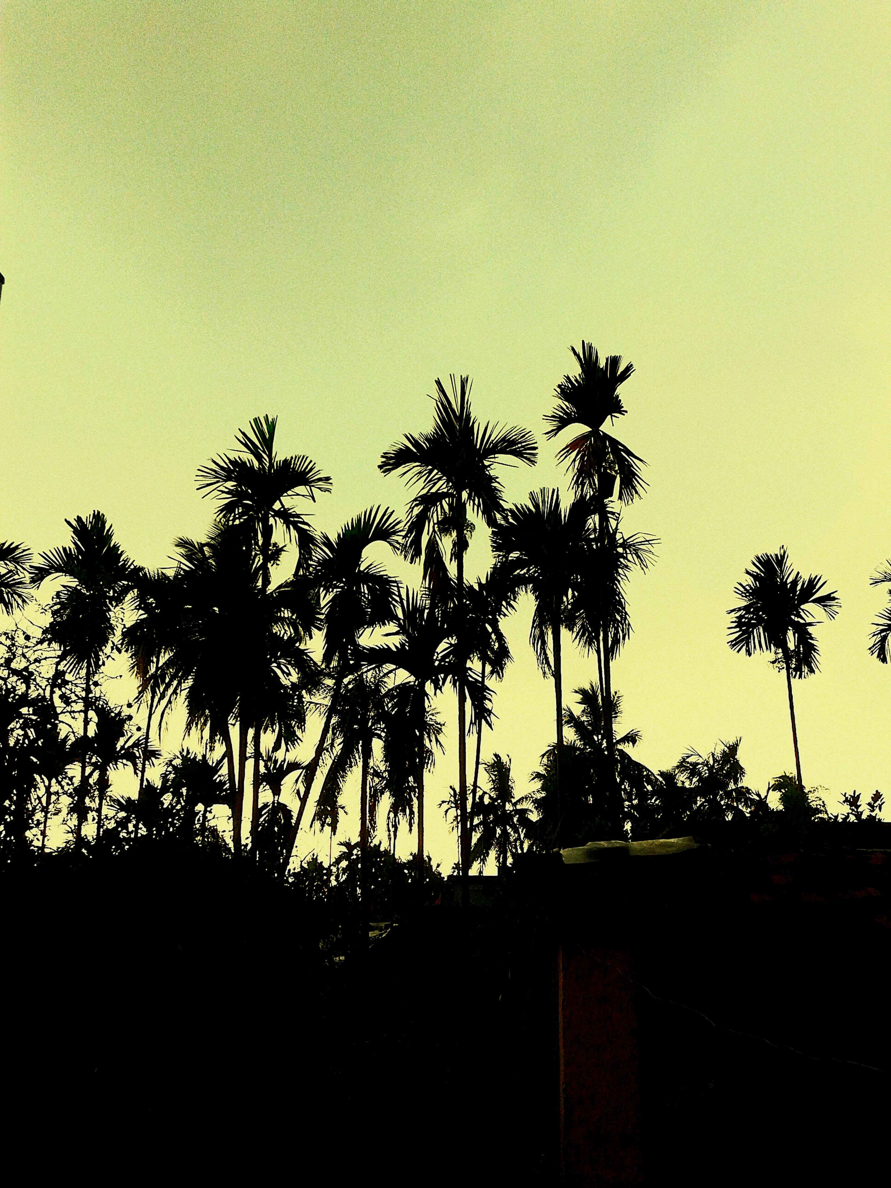 silhouette, clear sky, copy space, growth, sunset, tree, nature, plant, tranquility, sky, beauty in nature, tranquil scene, palm tree, no people, low angle view, outdoors, field, dusk, scenics, branch