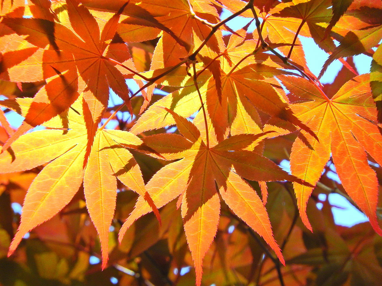 Close-Up Of Maple Tree In Autumn