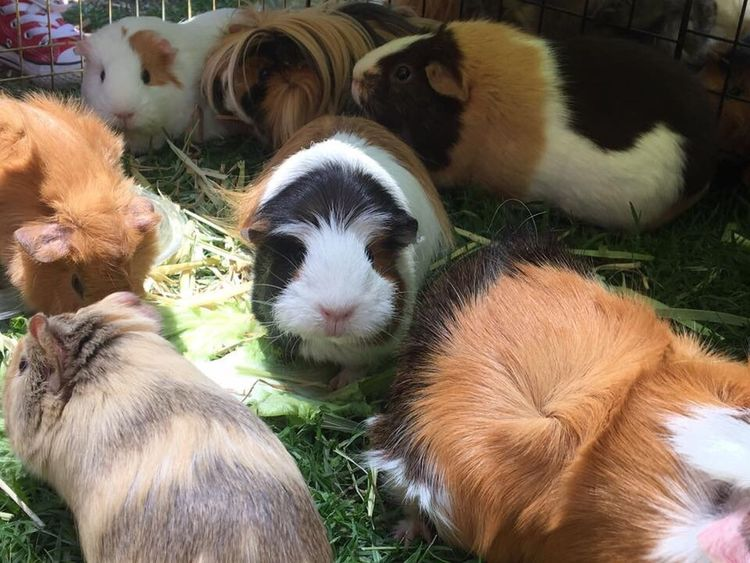 Cuyos Cui Guinea Pig Domestic Animals Pets