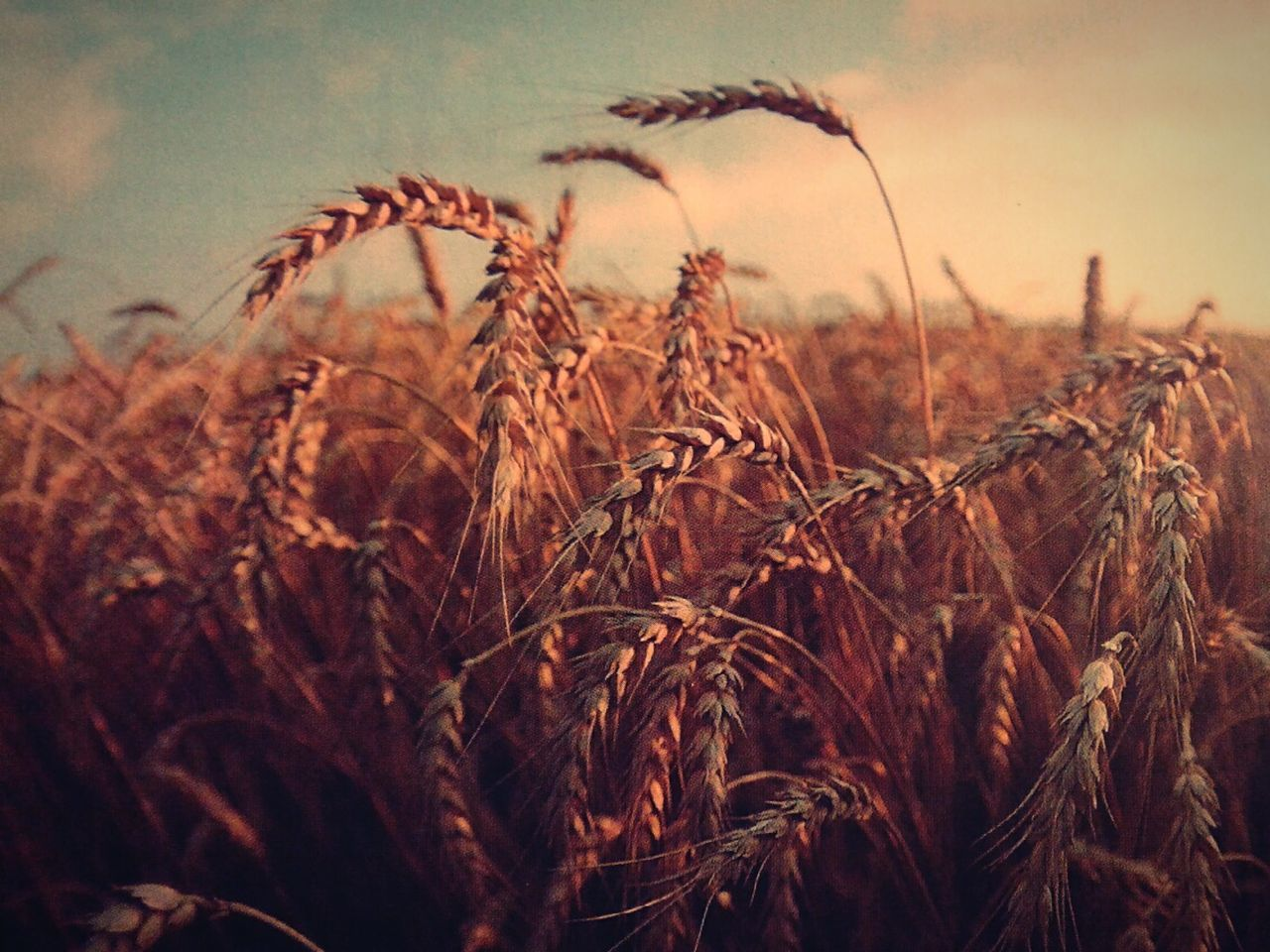 growth, field, agriculture, nature, plant, tranquility, crop, no people, cereal plant, wheat, day, outdoors, rural scene, close-up, beauty in nature, sky