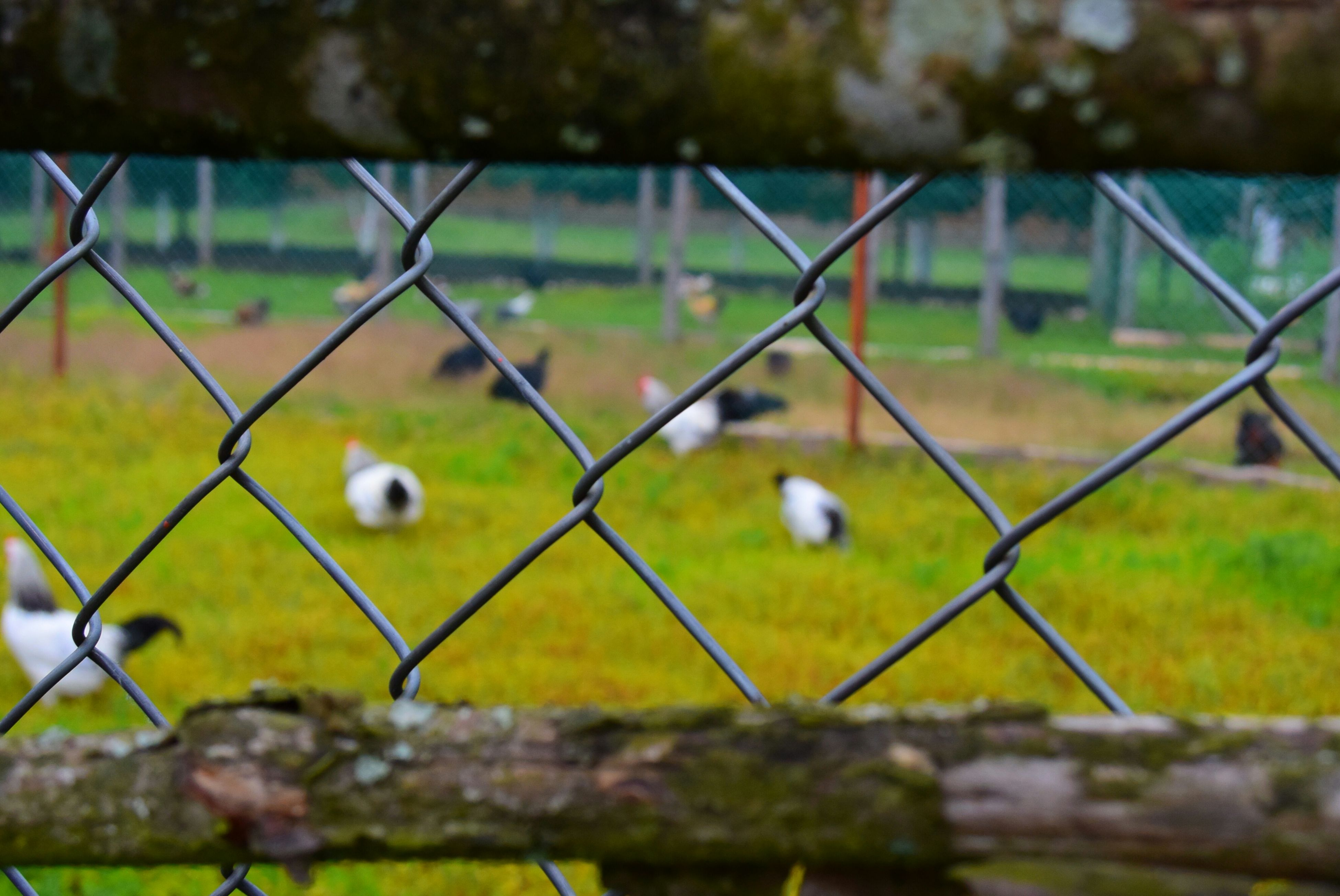 fence, chainlink fence, protection, safety, focus on foreground, security, metal, field, close-up, grass, day, barbed wire, selective focus, outdoors, no people, sky, nature, landscape, railing, tree