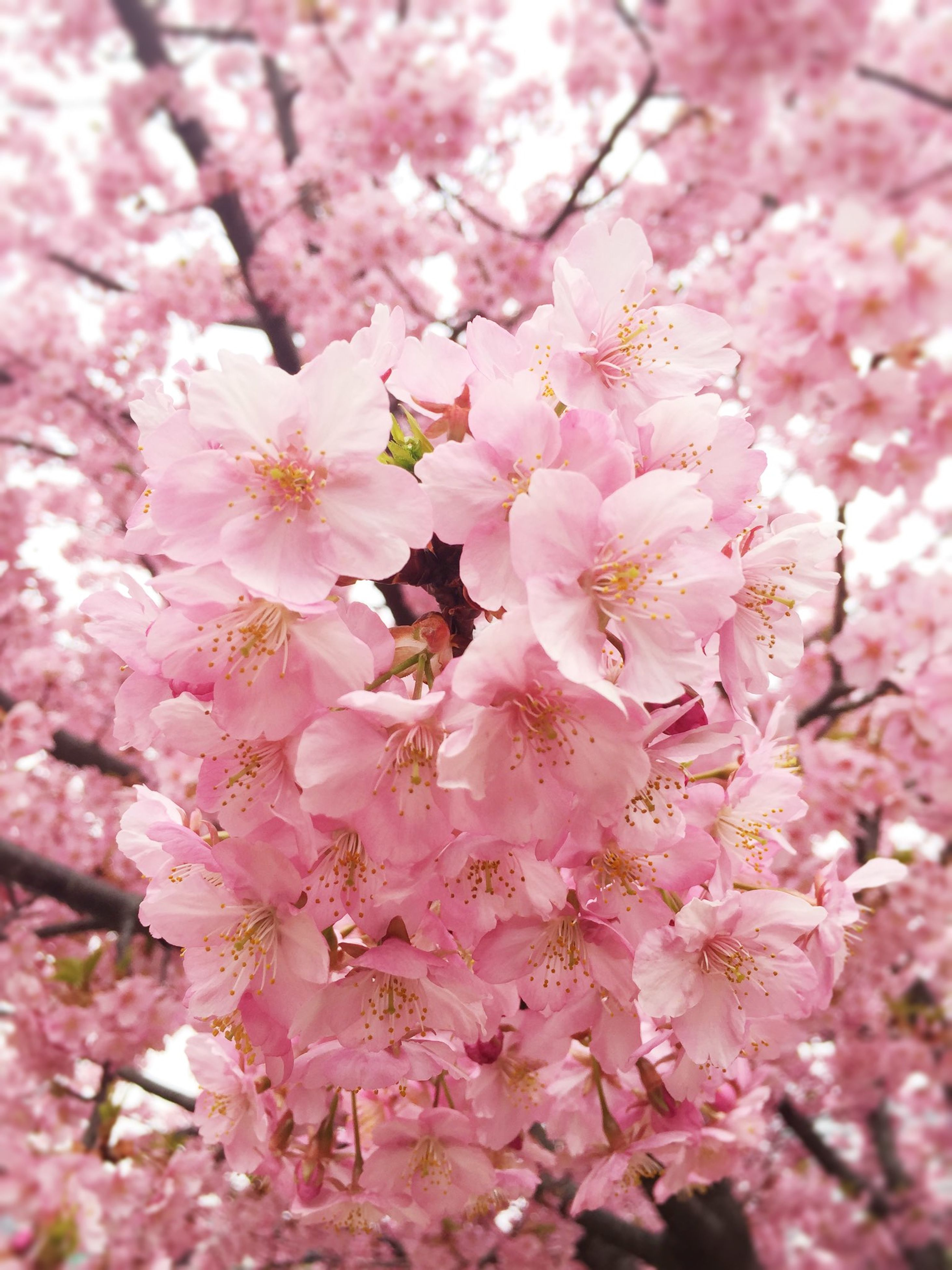 flower, freshness, cherry blossom, tree, pink color, growth, fragility, branch, beauty in nature, cherry tree, blossom, nature, petal, in bloom, pink, springtime, blooming, close-up, fruit tree, low angle view
