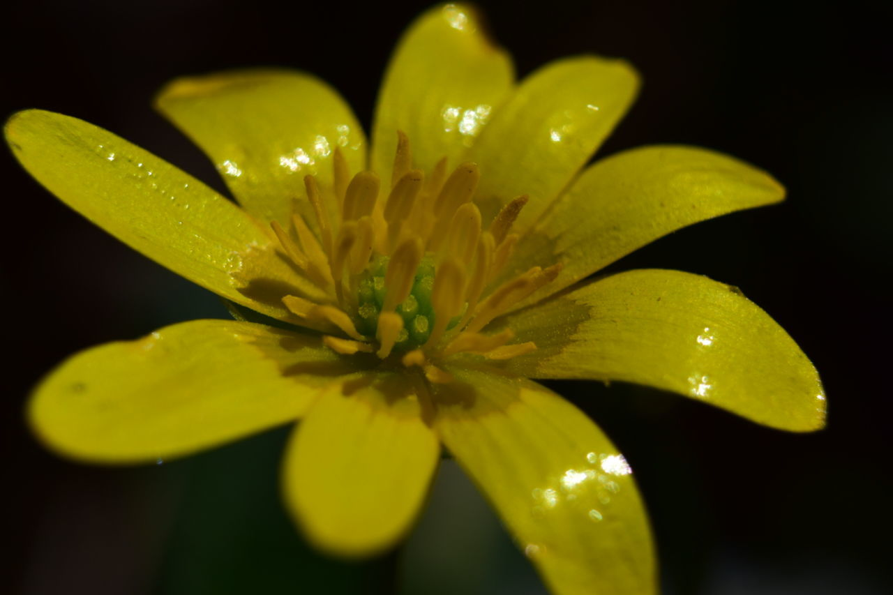 California Buttercup Check This Out Naturelovers Nature On Your Doorstep Macro_collection EyeEm Nature Lover My Own Photography NIKON D5300 EyeEm Gallery Life Though The Lens Nature Nature Photography Light And Shadow Macro Photography Macro_captures Beauty In Nature Macro Taking Photos Yellow Flower Yellow Leaves Petals Flowerporn Flowers_collection EyeEm Best Shots Nature_perfection