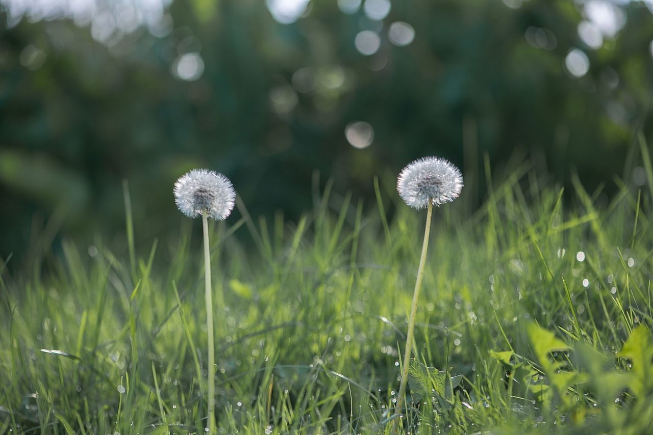 Summer background in the meadow of dandelions Backgrounds Beauty In Nature Close-up Collection Dandelions Dream EyeEmNewHere Flower Flower Head Freshness Grass Green Color Growth Meadow Flowers Nature Spring Spring Melody Springtime Summer Two Two Dandelions