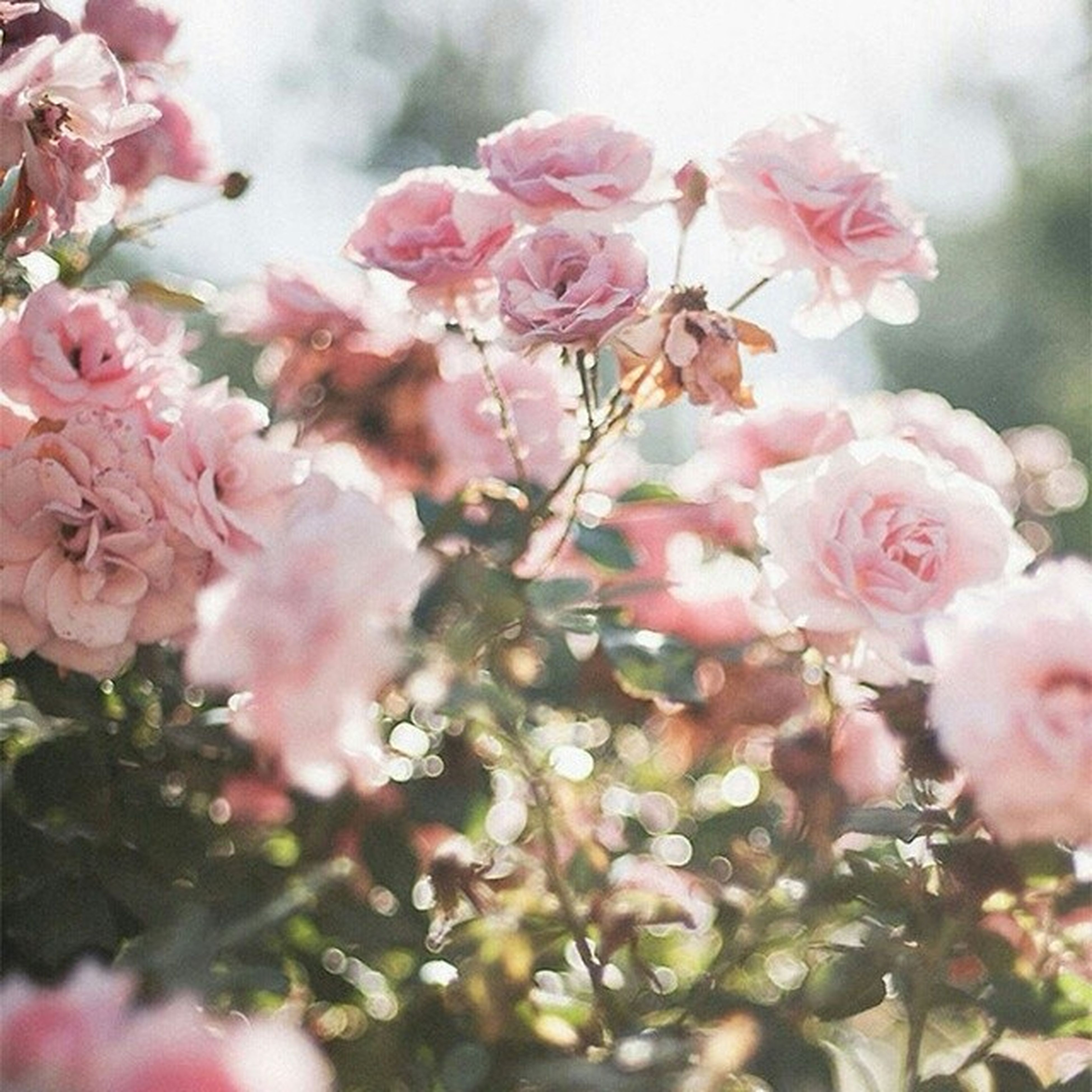 flower, freshness, fragility, pink color, growth, beauty in nature, petal, nature, close-up, blossom, branch, cherry blossom, focus on foreground, blooming, in bloom, flower head, cherry tree, tree, twig, springtime