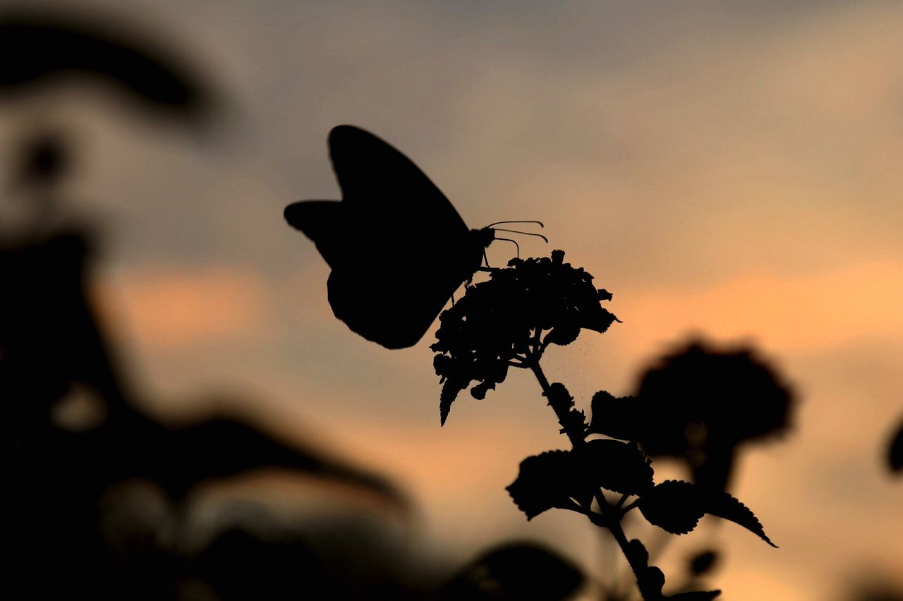 nature, close-up, plant, outdoors, focus on foreground, no people, beauty in nature, sunset, growth, fragility, silhouette, butterfly - insect, flower, flower head, day, animal themes, freshness, sky