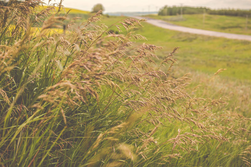 Breathing Space Canadian Prairies Golden Grass Road The Week On EyeEm Agriculture Beauty In Nature Close-up Day Farm Field Grass Grass And Flowers Hillside Landscape Nature No People Outdoors Plant Roadside Rural Scene Scenics Tranquil Scene Tranquility Perspectives On Nature
