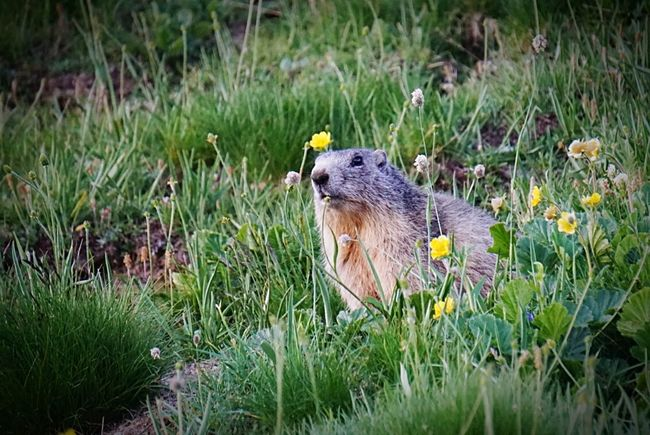 Marmotte ! Animals In The Wild Animal Photography Marmotte Mountains Summer The Essence Of Summer Summer2016 Outdoor Photography Savage Animal Animal_collection