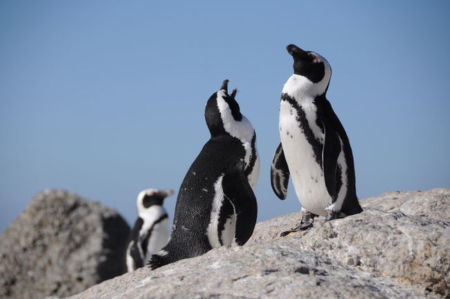 Animal Animal Behavior Animal Wildlife Animals In The Wild Boulders Beach Claw Day Eco Tourism Mammal Nature No People Outdoors Penguin Rock - Object Survival Travel