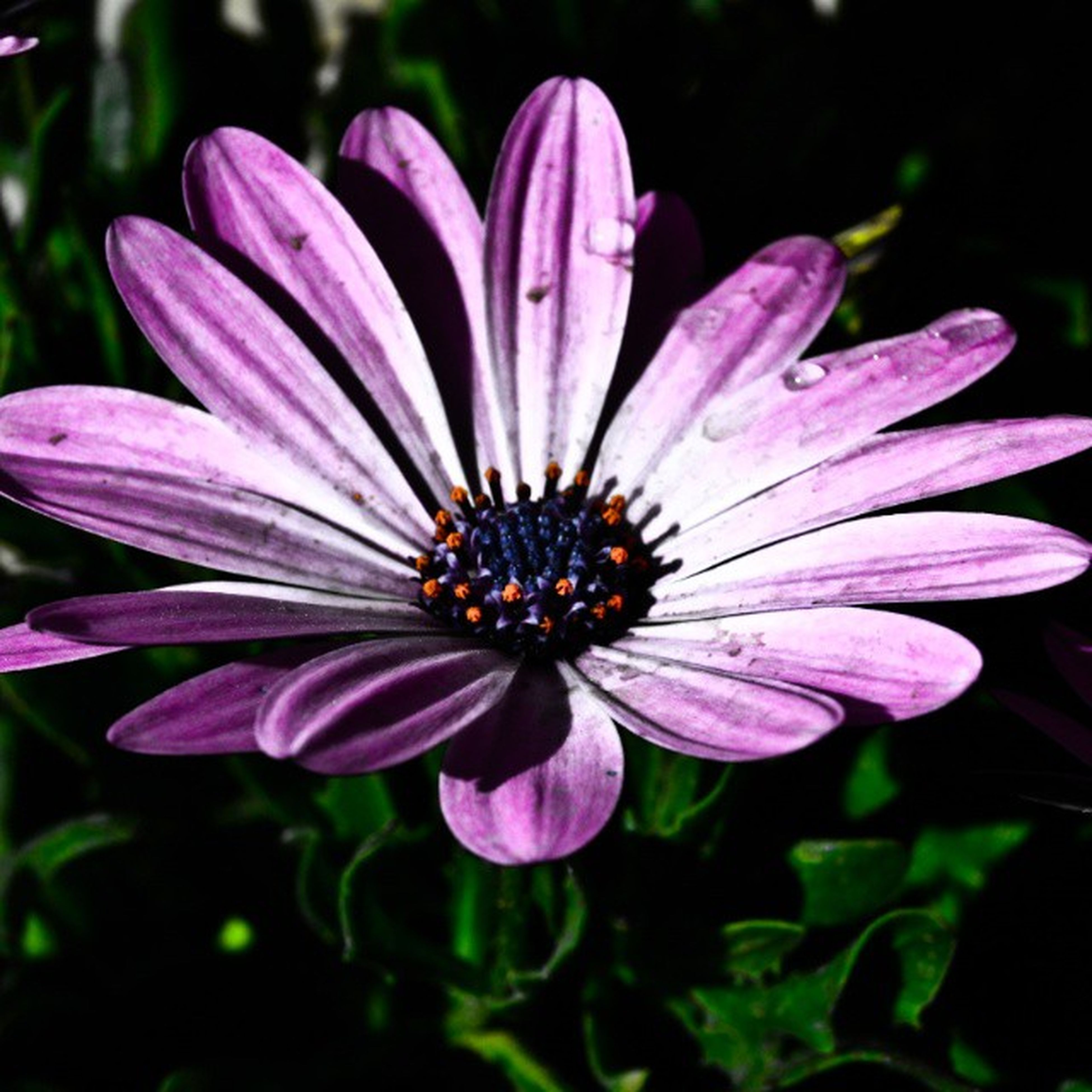 flower, petal, freshness, fragility, flower head, growth, beauty in nature, close-up, purple, pollen, blooming, nature, single flower, focus on foreground, plant, in bloom, stamen, pink color, outdoors, no people